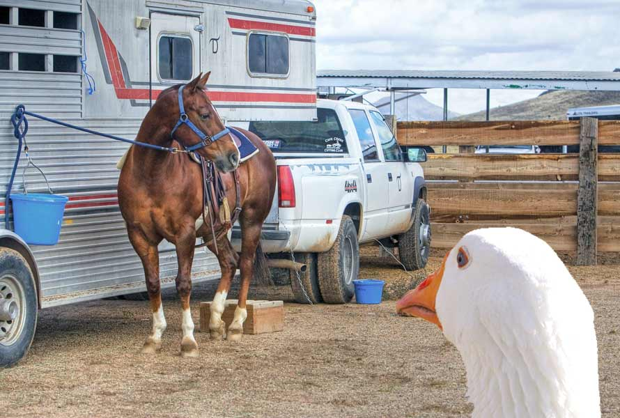 Goose looking at a gooseneck horse trailer